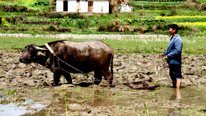 A water buffalo at work in the fields