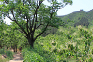 The trail leads through chestnut orchards, with the Great Wall on the ridge behind